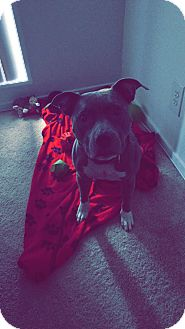 American Pit Bull Terrier Mix Dog for adoption in Baltimore, Maryland - Victoria (COURTESY POST)