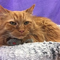 Adopt A Pet :: Mr. Kitty - Alexandria, VA