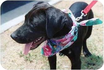 Pointer/Labrador Retriever Mix Puppy for adoption in Macon, Georgia - Lizzie