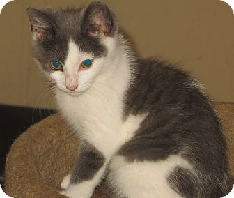 Domestic Shorthair Kitten for adoption in Catasauqua, Pennsylvania - Spitfire