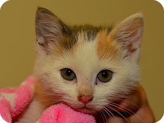 Domestic Shorthair Kitten for adoption in Brooklyn, New York - Pudding