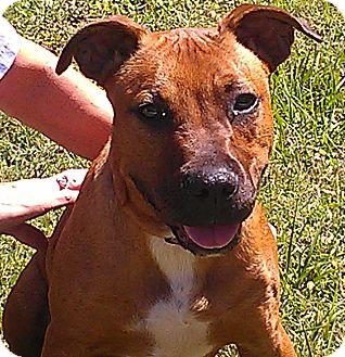 Mastiff/Pit Bull Terrier Mix Puppy for adoption in Odessa, Florida - JAX