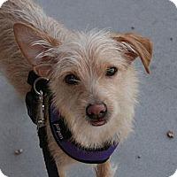 Adopt A Pet :: Joey - Gilbert, AZ