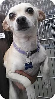 Chihuahua Dog for adoption in Westminster, California - Lulu