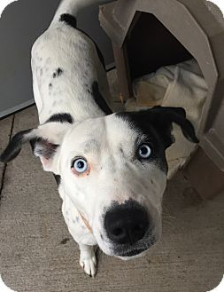 Border Collie/Cattle Dog Mix Dog for adoption in Granby, Colorado - Precious