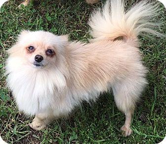 Pomeranian Dog for adoption in Kansas City, Missouri - Elsa