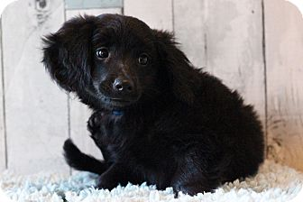 Terrier (Unknown Type, Medium) Mix Puppy for adoption in Waldorf, Maryland - Henry