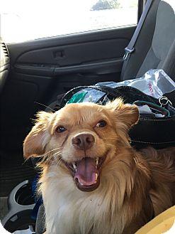 Pekingese/Spaniel (Unknown Type) Mix Dog for adoption in Gilbert, Arizona - Calvin