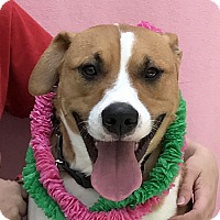 Boxer/American Staffordshire Terrier Mix Dog for adoption in Evansville, Indiana - Mocha