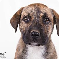 Adopt A Pet :: Brie - Lodi, CA