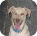 Australian Shepherd/Labrador Retriever Mix Dog for adoption in Colorado Springs, Colorado - Rascle