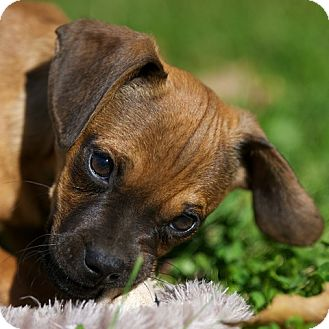Pug/Dachshund Mix Puppy for adoption in Providence, Rhode Island - Dooley