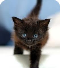 Domestic Shorthair Kitten for adoption in Lancaster, Massachusetts - Alaska