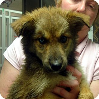 Collie/Husky Mix Puppy for adoption in Greencastle, North Carolina - Diamond