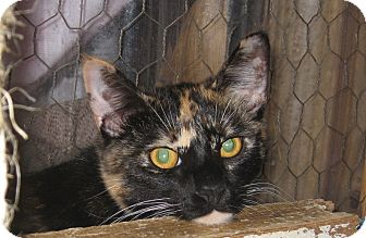 Domestic Shorthair Cat for adoption in Bulverde, Texas - Delilah