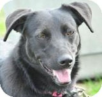 Labrador Retriever Mix Dog for adoption in New Roads, Louisiana - Lily
