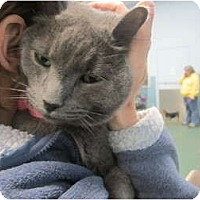 Adopt A Pet :: Blu (front declawed) - Sterling Hgts, MI