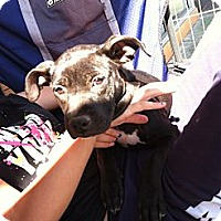 Adopt A Pet :: Marie - North Hollywood, CA