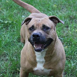 American Staffordshire Terrier Dog for adoption in Indianapolis, Indiana - Phoebe