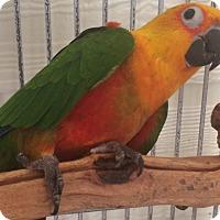 Adopt A Pet :: Gigi - Burleson, TX