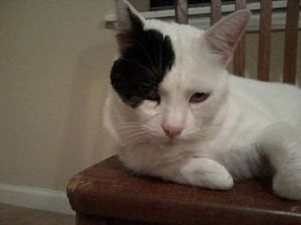 Domestic Shorthair Cat for adoption in Houston, Texas - Righty