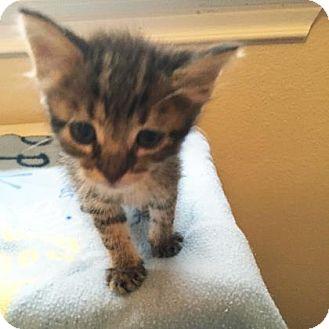Domestic Shorthair Kitten for adoption in Austin, Texas - Wishbone