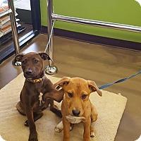 Adopt A Pet :: Micky - Blue Bell, PA