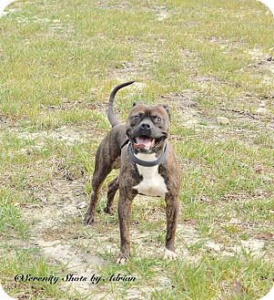 Pit Bull Terrier/Boxer Mix Dog for adoption in Henderson, North Carolina - Rusty