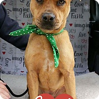 Shar Pei/Pit Bull Terrier Mix Puppy for adoption in Arlington, Texas - Sammi