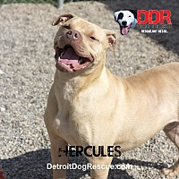Adopt A Pet :: Hercules - St. Clair Shores, MI