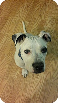 American Bulldog Mix Puppy for adoption in Claypool, Indiana - Zeus