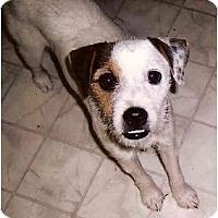 Adopt A Pet :: Buddy in Houston - Houston, TX