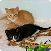 Adopt A Pet :: Kittens - New York, NY