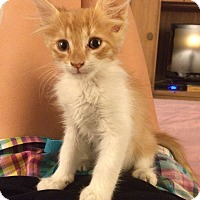 Domestic Mediumhair Kitten for adoption in Mesa, Arizona - Cheddar