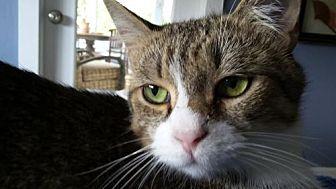 Domestic Shorthair Cat for adoption in Satellite Beach, Florida - Pinkerton & Mini Mama