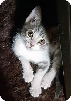 Domestic Shorthair Kitten for adoption in Mission Viejo, California - Kiwi