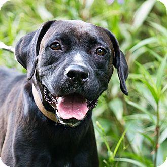 German Shorthaired Pointer/Boxer Mix Dog for adoption in Houston, Texas - Jackson