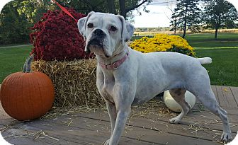 Boxer Mix Dog for adoption in Oakland, Michigan - Lacey