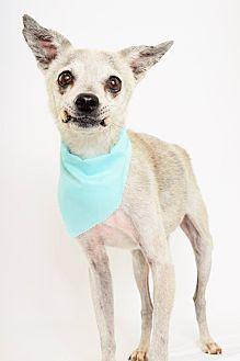 Greyhound/Chihuahua Mix Dog for adoption in Phoenix, Arizona - Monty