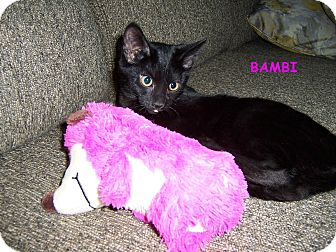 Bombay Kitten for adoption in Taylor Mill, Kentucky - Bambi-DECLAWED kitten