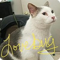 Adopt A Pet :: Lovebug - Ottumwa, IA
