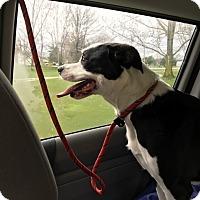 Adopt A Pet :: Bella - Canton, OH