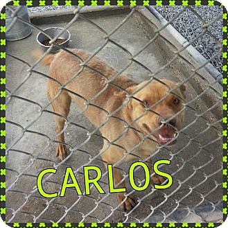 Labrador Retriever/Hound (Unknown Type) Mix Dog for adoption in Donaldsonville, Louisiana - Carla