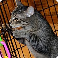 Adopt A Pet :: Thaddeus - Taftville, CT