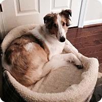 Adopt A Pet :: Sully - Abingdon, MD