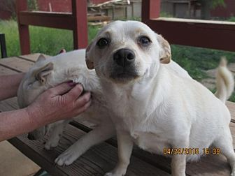 Terrier (Unknown Type, Small) Mix Dog for adoption in Anton, Texas - Sweet Pea