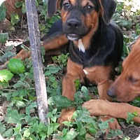 Adopt A Pet :: Ruger - East Hartford, CT