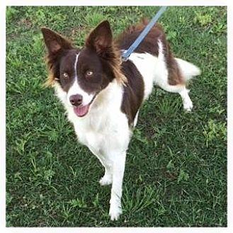 Border Collie Mix Dog for adoption in Allen, Texas - Nellie