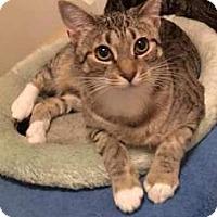Domestic Shorthair Cat for adoption in Virginia Beach, Virginia - 1510-0398 Jackie