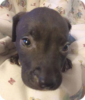 Labrador Retriever/Pit Bull Terrier Mix Puppy for adoption in Cincinnati, Ohio - Cinder